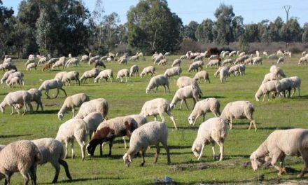 Asaja prevé que 26.000 ovejas mueran en Extremadura por las vacunas contra la lengua azul