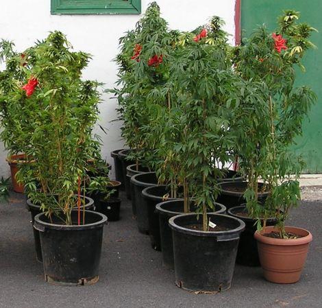 Detienen a un joven de Oliva por cultivar cerca de 60 plantas de mariahuana en su domicilio