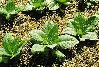 Los tabaqueros piden que Agroseguro perite cuanto antes las pérdidas por lluvia