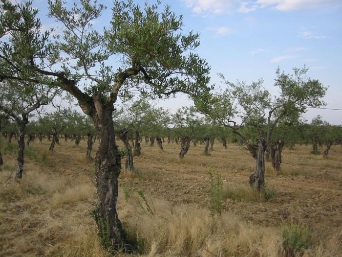 UPA-UCE denuncia a cuatro distribuidoras por vender aceite de oliva por debajo del coste de producción