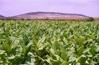 """La Junta y Altadis manifiestan el """"interés"""" mutuo en el mantenimiento del cultivo del tabaco"""