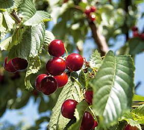 El sector de la fruta prevé una buena campaña con 250.000 toneladas y en espera buen precio