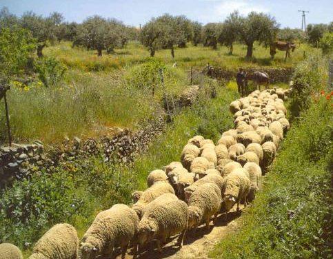 El Partido Popular considera que el sector ovino de Extremadura sufre una grave crisis estructural