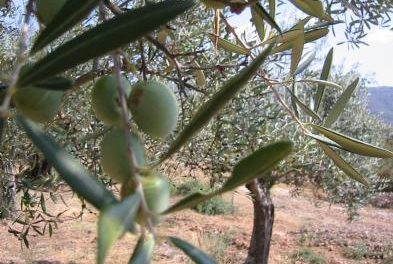 Un estudio revela que la superficie de olivar ha crecido un 12% en Extremadura en los últimos nueve años