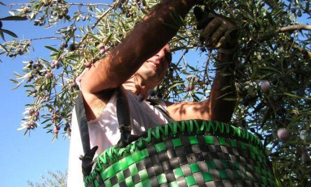 Vázquez destaca la importancia de las investigaciones en el sector olivarero extremeño