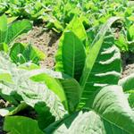 El Plan de Apoyo al Sector Tabaquero contará con 190 millones de euros para garantizar su continuidad