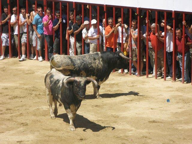 Los novillos de Monteviejo crean tensión en el último encierro de Moraleja que duró casi 13 minutos