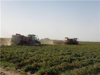 Vara reivindica «el valor del campo» durante el inicio de la campaña de recolección del tomate en Miajadas