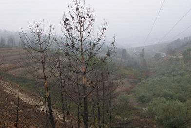 Ecologistas de Extremadura pide que no se planten más pinos resineros porque son muy inflamables