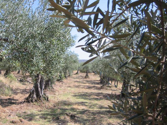 Alcaldes de Las Hurdes solicitan que la Junta repoble los frutales y olivares dañado por el fuego