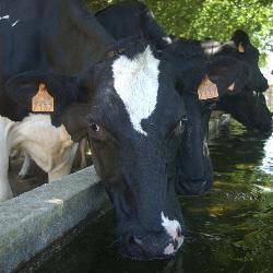 El sector vacuno extremeño recibe más de 73,5 millones de euros como la prima por vaca nodriza