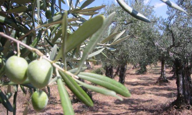 La Denominación Gata-Hurdes prevé una cosecha récord de aceituna en el norte de la provincia de Cáceres