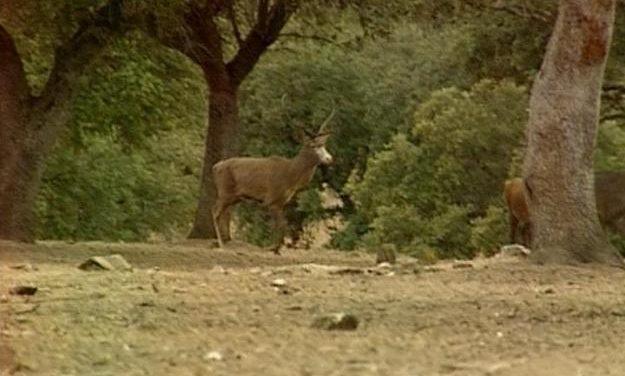 El espectáculo de la berrea de los ciervos se puede disfrutar hasta mediados de octubre en Monfragüe y San Pedro