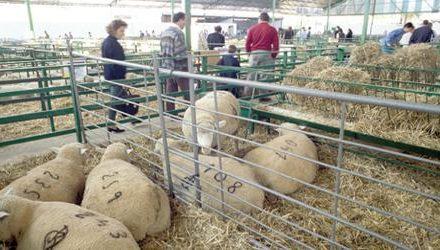 Unos 500 expositores y más de 2.500 cabezas de ganado se darán cita en la Feria Ganadera de Zafra