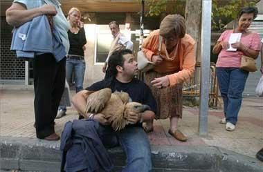 Un buitre leonado causa expectación en el centro de Cáceres tras chocar con una ventana de un edificio
