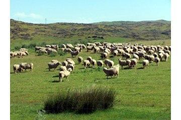 Un rebaño de 300 ovejas de la Denominación Queso de la Serena abrirá la fiesta de la trashumancia en Madrid