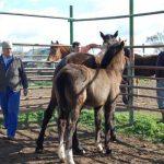 Extremadura dará ayudas para la cría, selección y doma de caballos de silla
