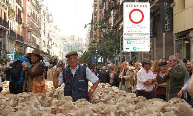 Ovejas merinas extremeñas protagonizan la fiesta de la Trashumancia