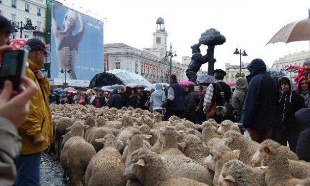 Las ovejas merinas de la Serena toman las calles de Madrid, pese a la lluvia