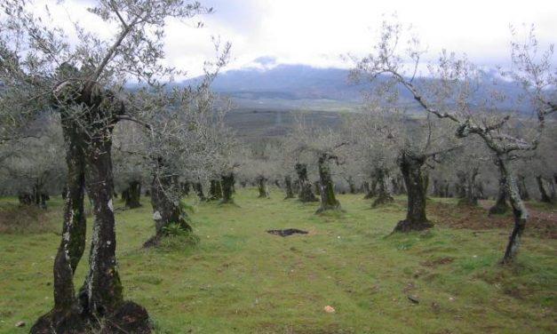 De la aceituna, el aceite Gata-Hurdes
