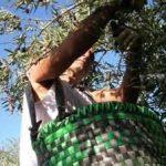La Unión anima a los agricultores del norte de Cáceres a secundar un paro en la recogida de aceituna por los bajos precios