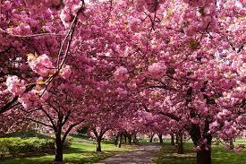 La Unión de Cooperativas Agrarias de la Unión Europea  premia un proyecto sobre el cerezo en el Valle del Jerte