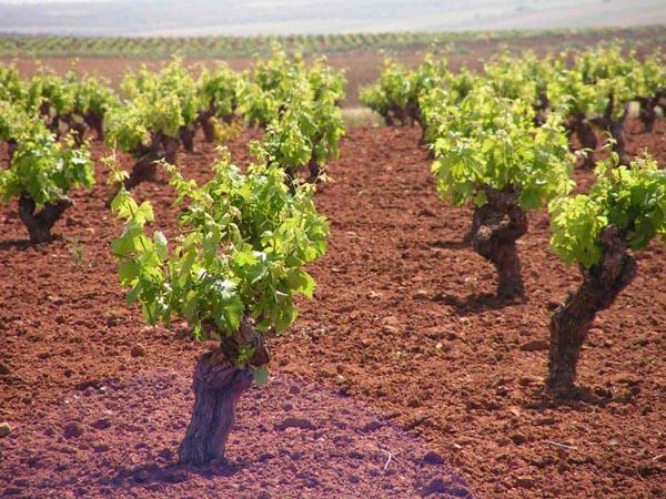 Agricultura destina 2 millones de euros para ayudas a explotaciones de frutales, olivar, viña y cereal de secano