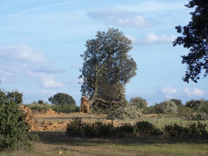 Extremadura coordinará un proyecto para el control de la Seca que afecta a la dehesa