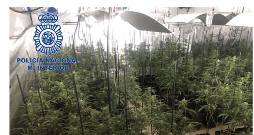 Detenido en Mérida un hombre de 38 años acusado de tráfico de drogas al tener 356 plantas de marihuana en una parcela