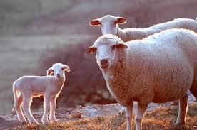La Junta abona 4 millones de euros del saldo de las ayudas asociadas a los productores de ovino y caprino