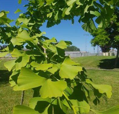 Un vecino de Moraleja regala el árbol de la esperanza para el Parque Fluvial Feliciano Vegas