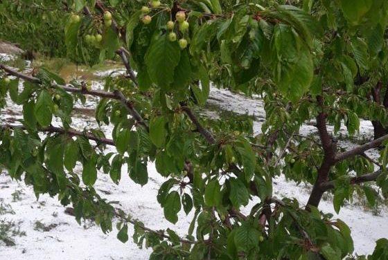 """La Junta muestra su """"preocupación"""" por la cereza e insiste en los seguros para afrontar la meteorología"""