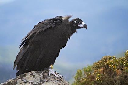 Ecologistas denuncian que se han envenenado a más de 6.500 aves en Extremadura en 13 años