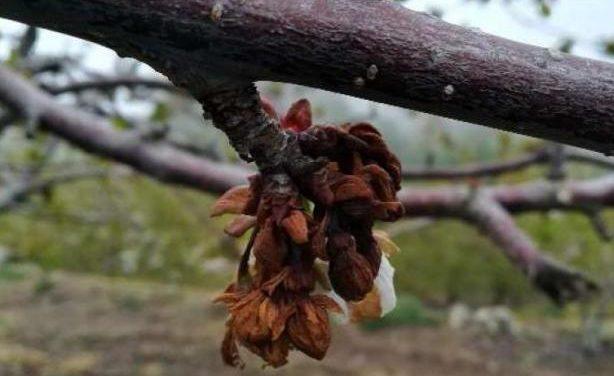 El sector de la cereza extremeño pierde un 45 por ciento de su producción por las lluvias y tormentas
