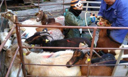 """APAG Extremadura pide a la Junta que """"arrime el hombro"""" y complemente las ayudas al ovino y caprino"""