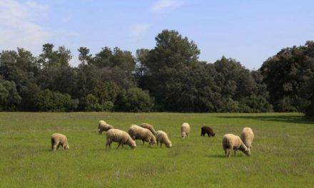 Extremadura destina 2,17 millones en ayudas a explotaciones ovinas y caprinas con dificultades