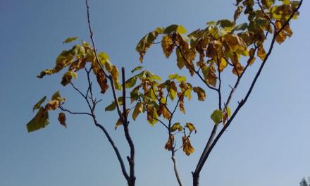 Denuncian la falta de riego de los árboles decorativos ubicados en la avenida de Moraleja