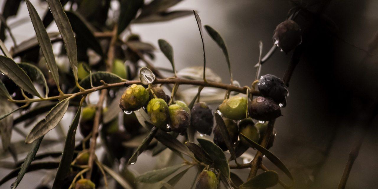 Interaceituna reúne a 50 chefs para elaborar un recetario y mostrar el potencial gastronómico del producto del olivo