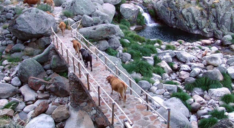 Cerca de 900 vacas atravesarán Guijo de Santa Bárbara este fin de semana en el XIII Día de la Trashumancia