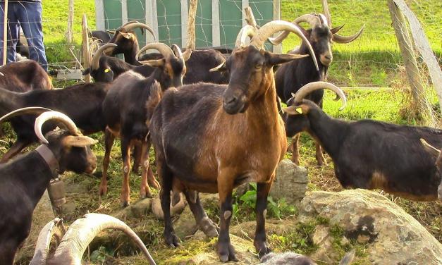 Publicadas ayudas de 1,2 millones para la cría de razas ganaderas autóctonas