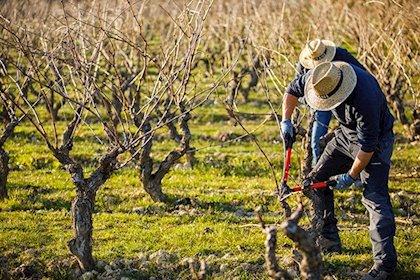 APAG Extremadura Asaja alerta de los daños que las aves provocan a las cosechas y la «falta de respuesta» de la Junta