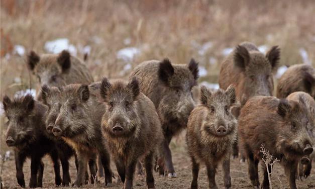 La Universidad de Extremadura investigará la tuberculosis en la fauna cinegética y en el ganado doméstico