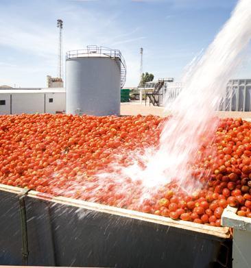 La campaña del tomate en Extremadura prevé unos 200.000 desplazamientos entre explotaciones agrarias y empresas