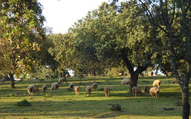 APAG Extremadura Asaja tacha de engaño las ayudas Covid al ovino y caprino