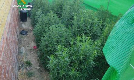 Dos detenidos con 70 plantas de marihuana de gran altura en Coria y Casas de Don Gómez