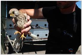 Salvan de un golpe de calor a un polluelo de águila imperial que hoy vuelve a la libertad