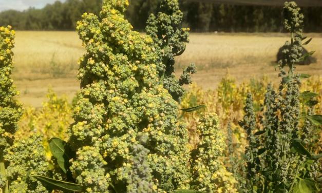 Investigadores extremeños muestran en Washington sus avances en el cultivo de la quinoa