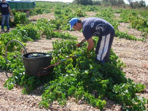 Extremadura está alerta ante los brotes que puedan darse en la vendimia y en la recolección del tabaco