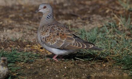 SEO/BirdLife denuncia la «situación crítica» de muchas especies de caza menor en Extremadura