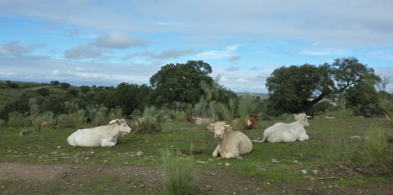 Agricultura ingresa 64 millones de euros a 12.000 titulares de ganaderías extremeñas